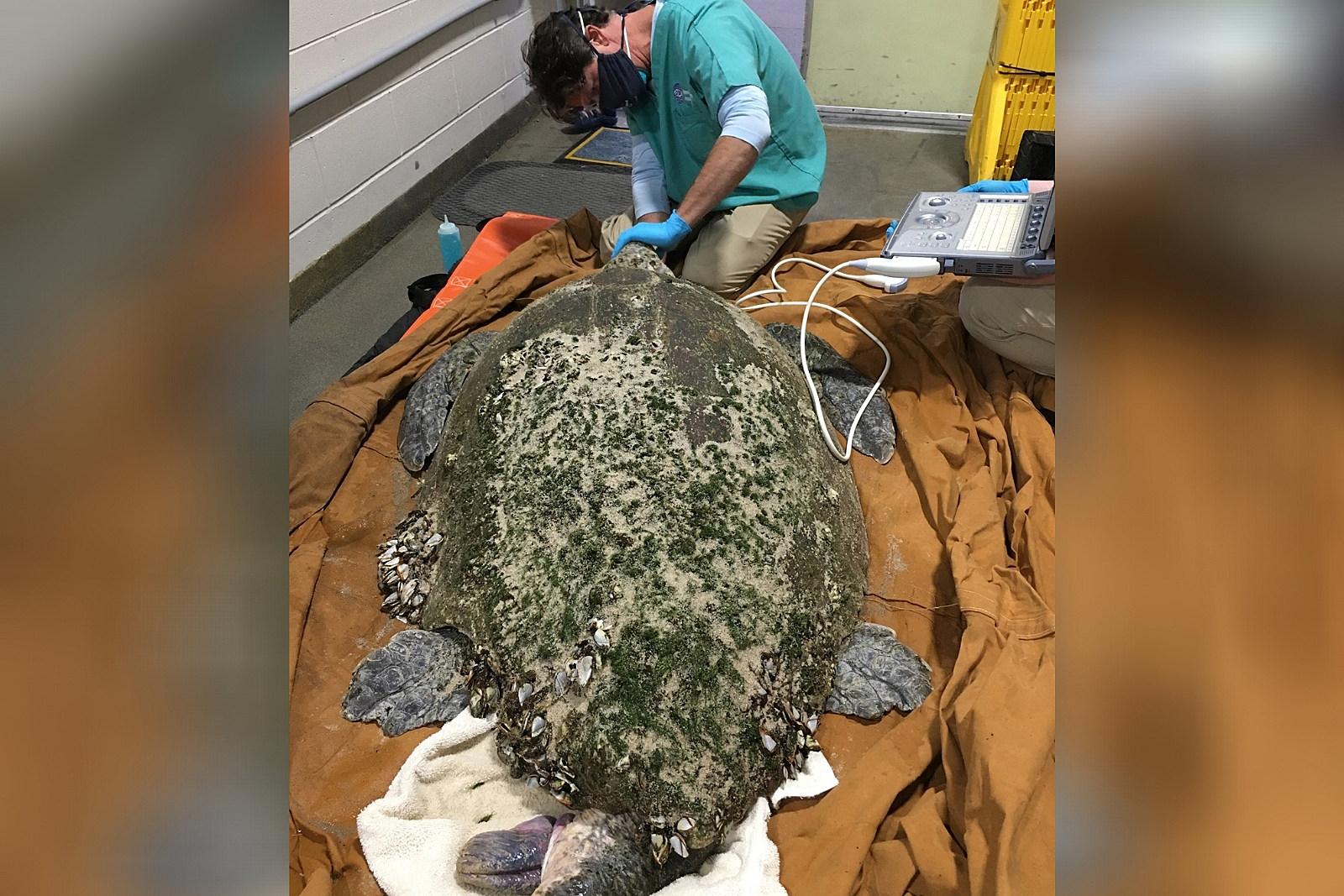 rescatan-extraña-tortuga-de-casi-160-kilogramos