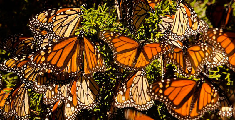 La población de mariposas monarca que llegan a México disminuyó 26% este año.