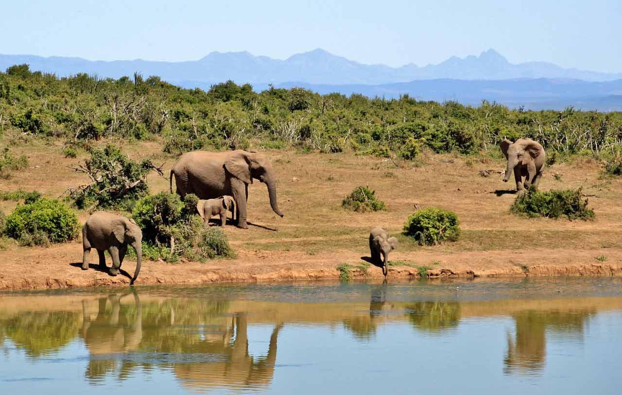 Según la Lista Roja de Especies Amenzadas de la UICN, los elefantes africanos de la sabana y el bosque ahora son especies en peligro de extinción.