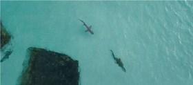 video de dron captura persecución entre tiburón y cocodrilo